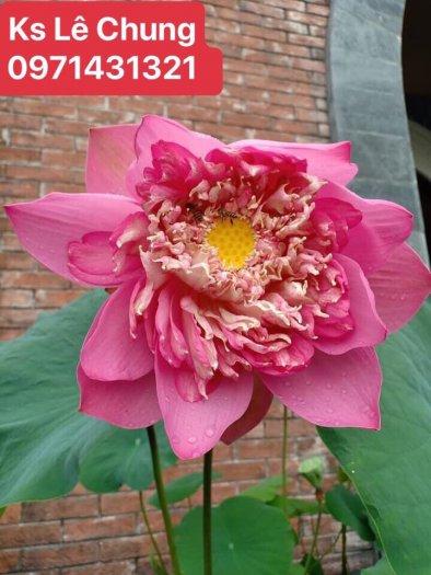 Hướng dẫn cách chăm sóc cây hoa sen bách diệp trắng, hồng - 1 loài sen cao quý2