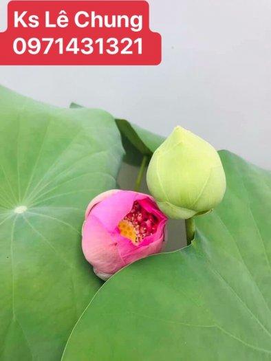 Hướng dẫn cách chăm sóc cây hoa sen bách diệp trắng, hồng - 1 loài sen cao quý4
