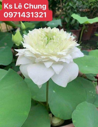 Hướng dẫn cách chăm sóc cây hoa sen bách diệp trắng, hồng - 1 loài sen cao quý6