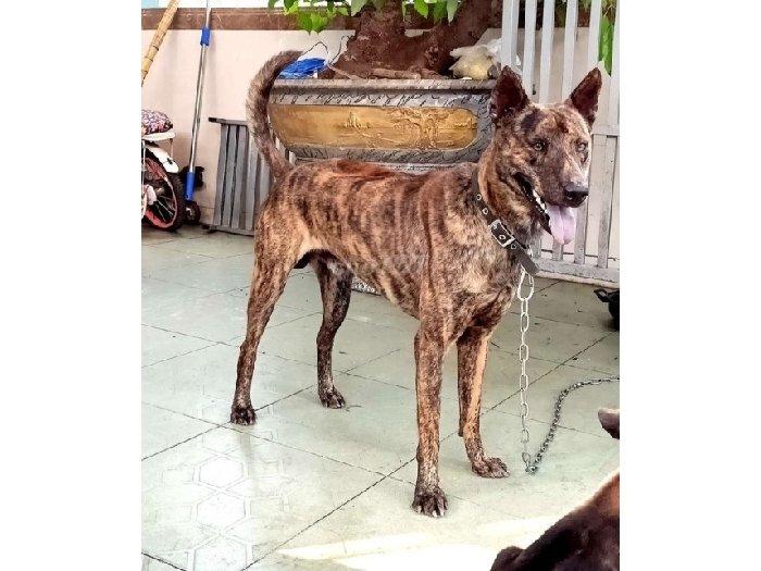 Bán chó Phú Quốc Lưỡi đen1
