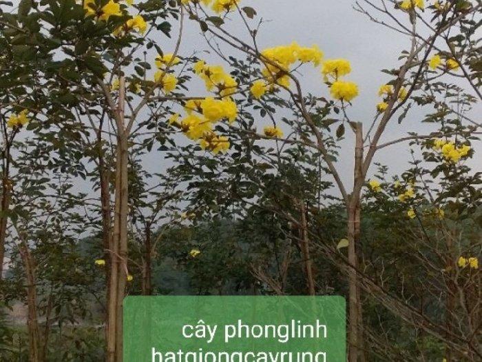 Hạt giống cây PHONG LINH3
