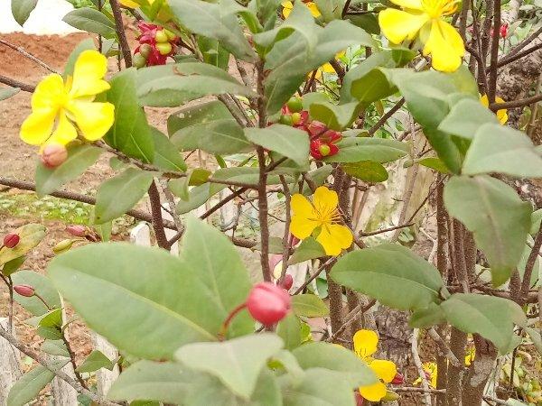 Hạt giống cây mai tý quý1