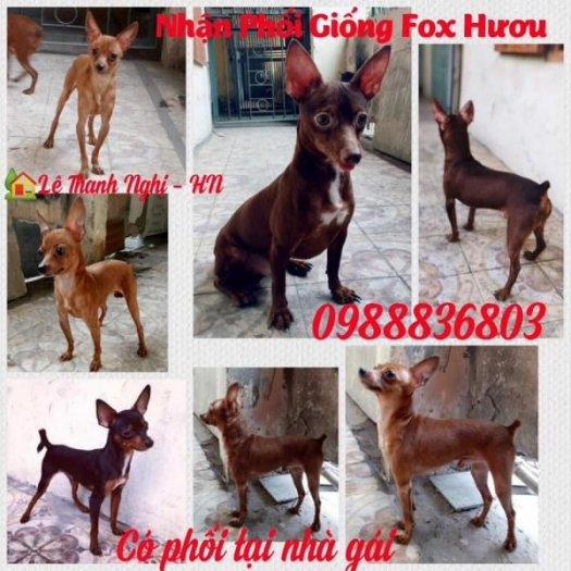 Nhận phối giống Fox Hươu Hà Nội :  09888368034
