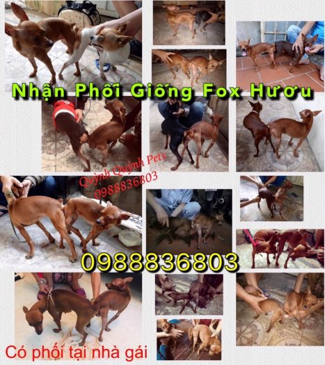Nhận phối giống Fox Hươu Hà Nội :  09888368031