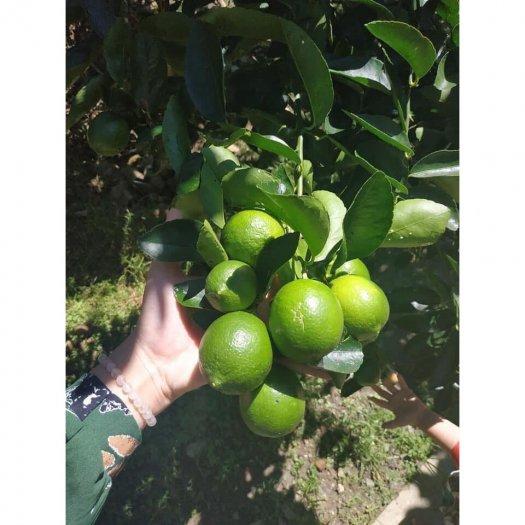 Chuyên cung cấp cây chanh tứ quý ( chanh bốn mùa )2