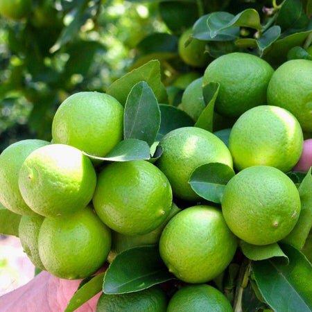 Chuyên cung cấp cây chanh tứ quý ( chanh bốn mùa )3