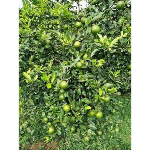 Chuyên cung cấp cây chanh tứ quý ( chanh bốn mùa )5