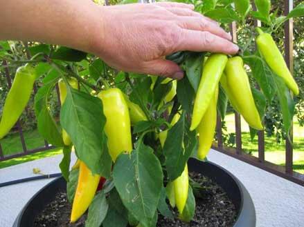 Chuyên cung cấp cây giống ớt trồng tại nhà0