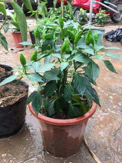 Chuyên cung cấp cây giống ớt trồng tại nhà5