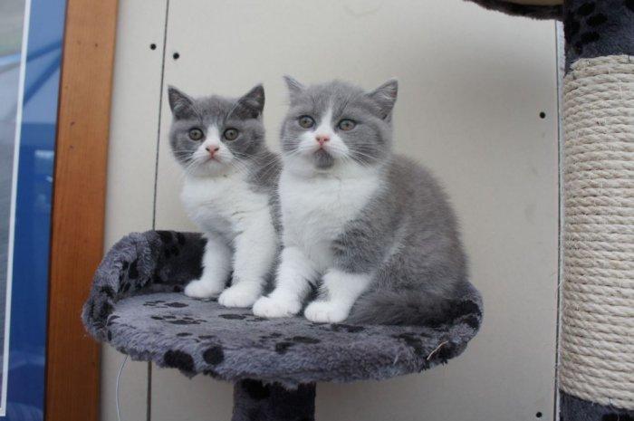 (HCM) Mèo con ALN xám xanh bicolor cần tìm chủ3