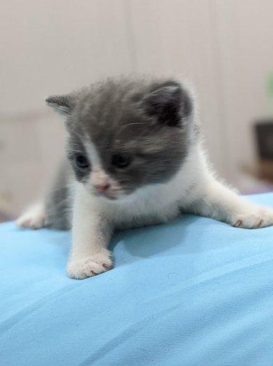 (HCM) Mèo con ALN xám xanh bicolor cần tìm chủ2