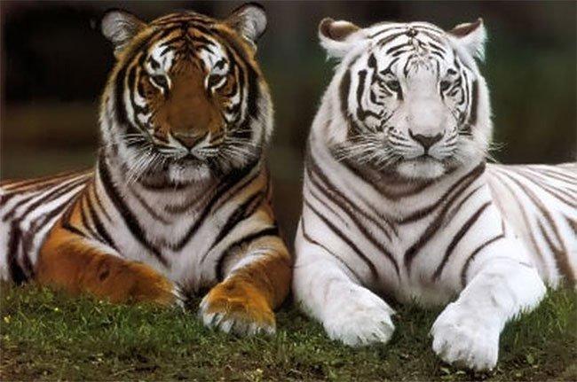 Tranh hổ -tranh gạch 3d hổ phong thủy - 85SNN8