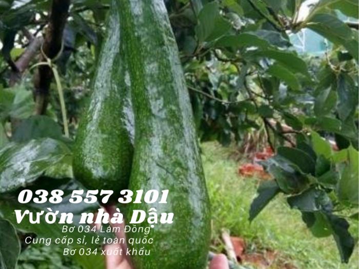 Bơ 034 Lâm Đồng Vườn nhà Dậu giá bơ 034 hôm nay  Call  038 557 3101 - cung cấp sỉ lẻ bơ 0345