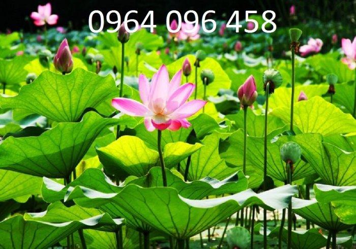 Tranh hoa sen 3d - tranh gạch 3d hoa sen - SCB55