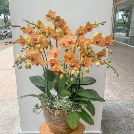Chậu hoa lan hồ điệp màu cam sọc 12 cành- HLNK040