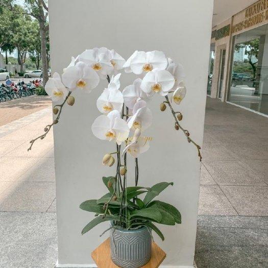Chậu hoa lan hồ điệp trắng 3 cành - HLNK050