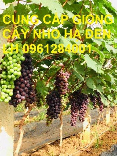 Cung cấp giống cây nho hạ đen, nho không hạt, nho hạ đen không hạt, chuyển giao kỹ thuật trồng14