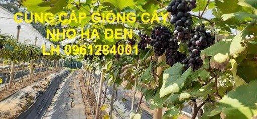 Cung cấp giống cây nho hạ đen, nho không hạt, nho hạ đen không hạt, chuyển giao kỹ thuật trồng12