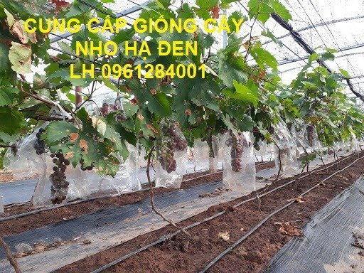 Cung cấp giống cây nho hạ đen, nho không hạt, nho hạ đen không hạt, chuyển giao kỹ thuật trồng11