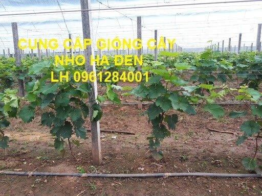 Cung cấp giống cây nho hạ đen, nho không hạt, nho hạ đen không hạt, chuyển giao kỹ thuật trồng10