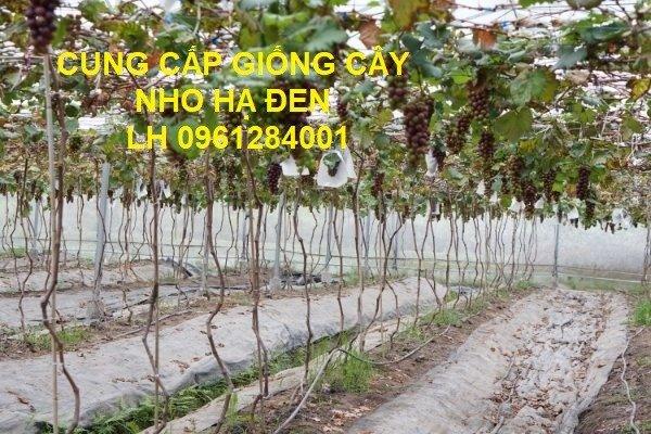 Cung cấp giống cây nho hạ đen, nho không hạt, nho hạ đen không hạt, chuyển giao kỹ thuật trồng9