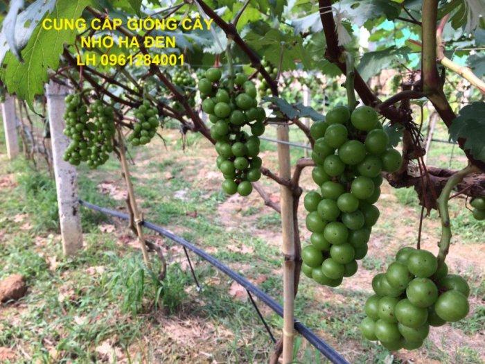 Cung cấp giống cây nho hạ đen, nho không hạt, nho hạ đen không hạt, chuyển giao kỹ thuật trồng7