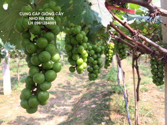 Cung cấp giống cây nho hạ đen, nho không hạt, nho hạ đen không hạt, chuyển giao kỹ thuật trồng4