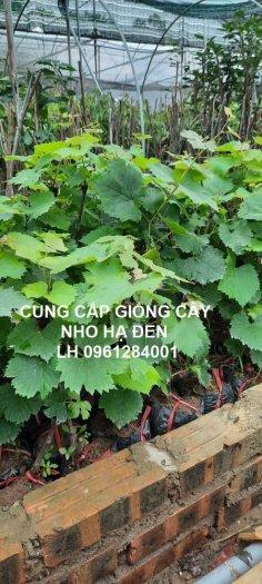 Cung cấp giống cây nho hạ đen, nho không hạt, nho hạ đen không hạt, chuyển giao kỹ thuật trồng2
