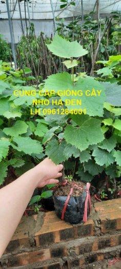 Cung cấp giống cây nho hạ đen, nho không hạt, nho hạ đen không hạt, chuyển giao kỹ thuật trồng1
