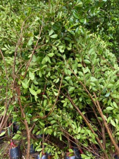 Nhánh cây xanh hàng rào14