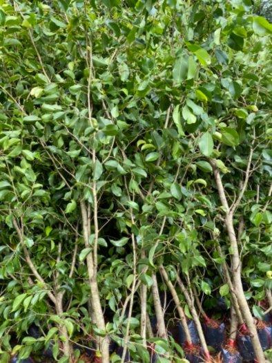 Nhánh cây xanh hàng rào13