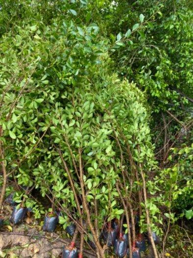 Nhánh cây xanh hàng rào11