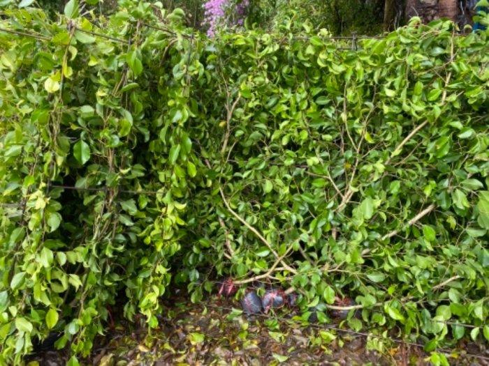 Nhánh cây xanh hàng rào10