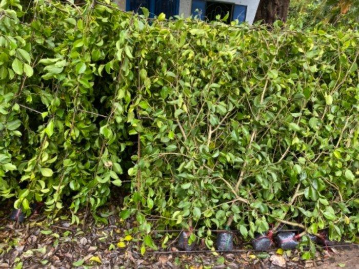 Nhánh cây xanh hàng rào9