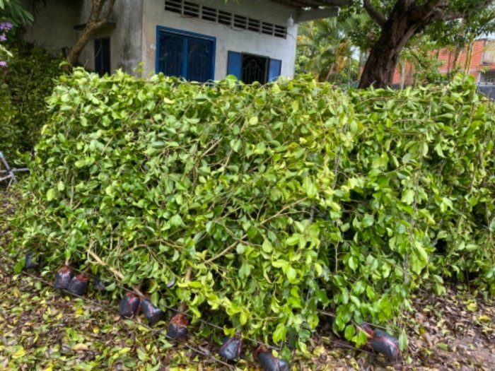 Nhánh cây xanh hàng rào6