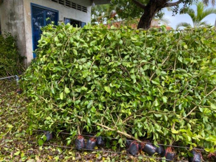 Nhánh cây xanh hàng rào3