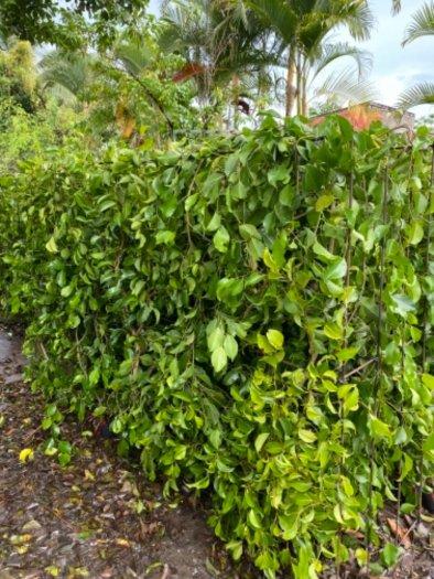 Nhánh cây xanh hàng rào2