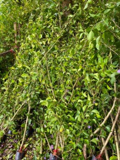 Nhánh cây xanh hàng rào1