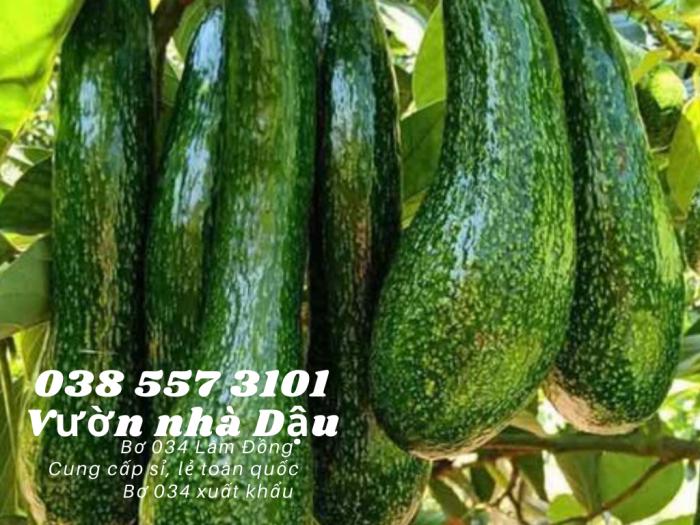 Bơ 034 Lâm Đồng - 034 Avocado from Lam Dong Viet Nam  -Vườn nhà Dậu 038 557 31011