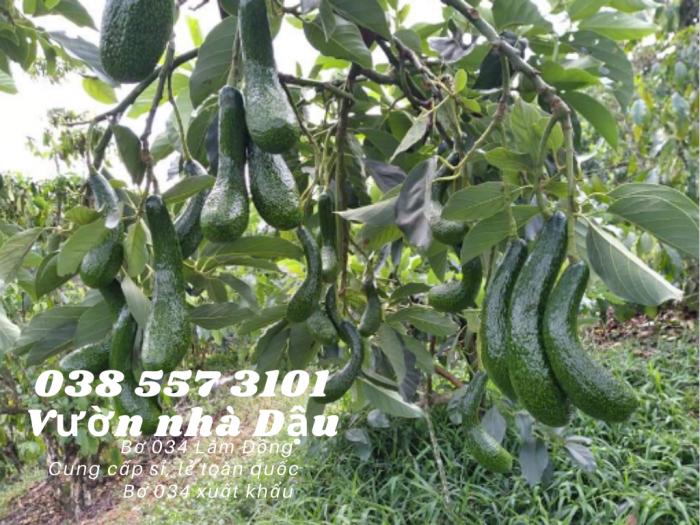 Bơ 034 Lâm Đồng - 034 Avocado from Lam Dong Viet Nam  -Vườn nhà Dậu 038 557 310111