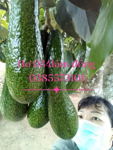 Bơ 034 Lâm Đồng Vườn Nhà Dậu3