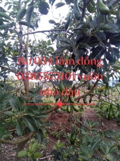 Bơ 034 Lâm Đồng Vườn Nhà Dậu6