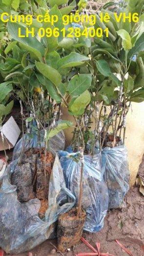 Chuyên cung cấp giống cây lê VH6, lê tai nung, cây lê, số lượng lớn, giao hàng toàn quốc9