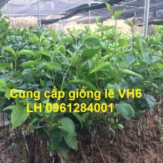 Chuyên cung cấp giống cây lê VH6, lê tai nung, cây lê, số lượng lớn, giao hàng toàn quốc8