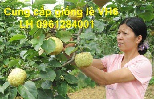 Chuyên cung cấp giống cây lê VH6, lê tai nung, cây lê, số lượng lớn, giao hàng toàn quốc7