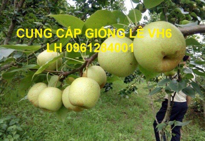 Chuyên cung cấp giống cây lê VH6, lê tai nung, cây lê, số lượng lớn, giao hàng toàn quốc6