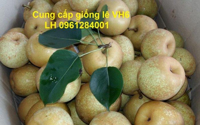 Chuyên cung cấp giống cây lê VH6, lê tai nung, cây lê, số lượng lớn, giao hàng toàn quốc5
