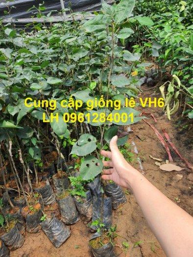 Chuyên cung cấp giống cây lê VH6, lê tai nung, cây lê, số lượng lớn, giao hàng toàn quốc3