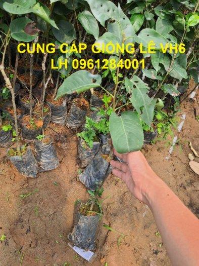 Chuyên cung cấp giống cây lê VH6, lê tai nung, cây lê, số lượng lớn, giao hàng toàn quốc2