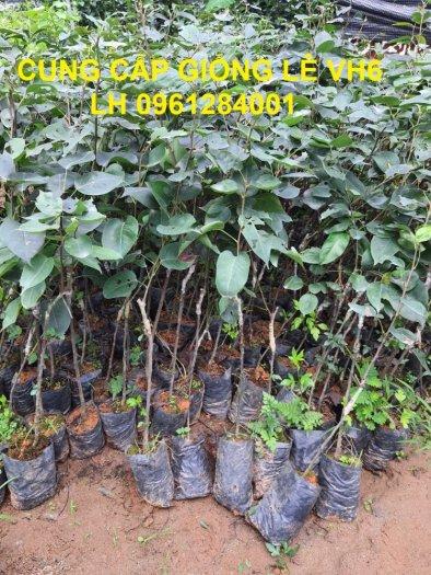 Chuyên cung cấp giống cây lê VH6, lê tai nung, cây lê, số lượng lớn, giao hàng toàn quốc1
